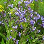 Anchuza azurea Loddon Royalist