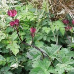 Astrantia major Claret