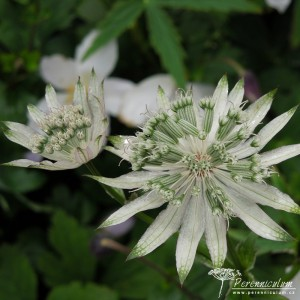 Astrantia major White Giant