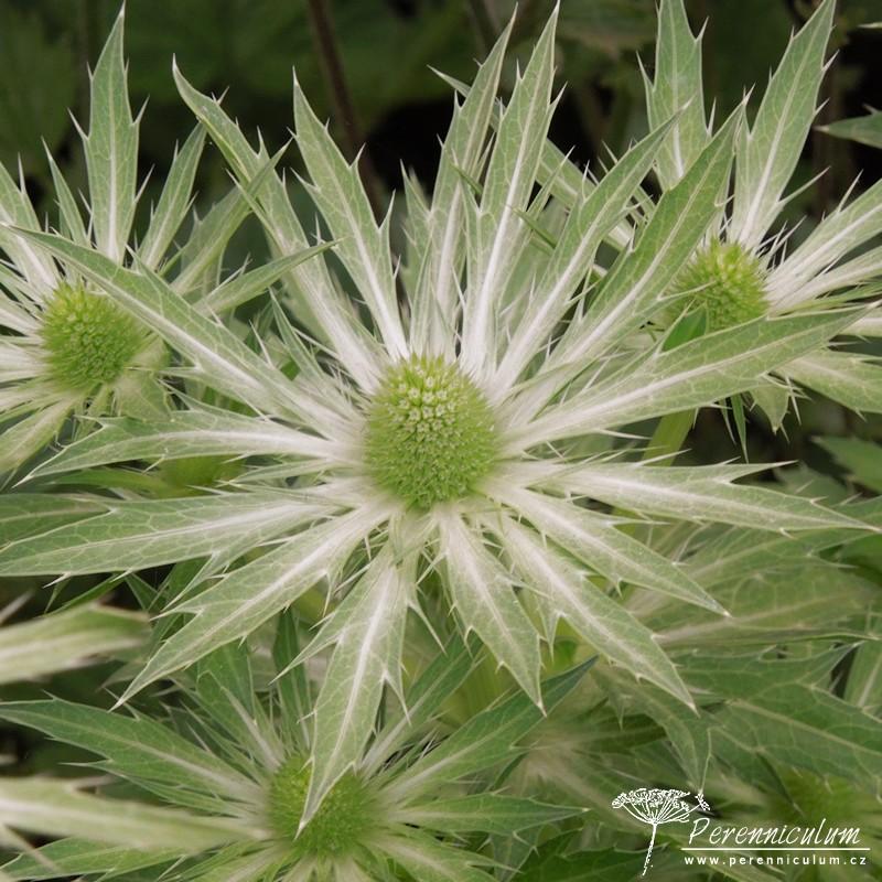 Eryngium × zabelii