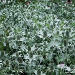 Eryngium giganteum Silver Ghost