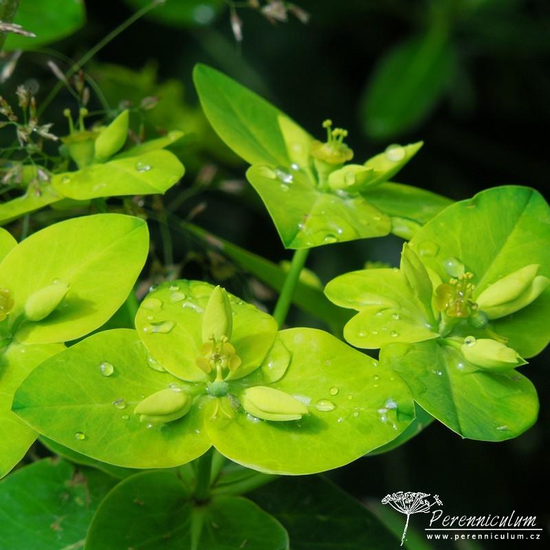 Euphorbia wallichii