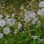 Geranium phaeum Album