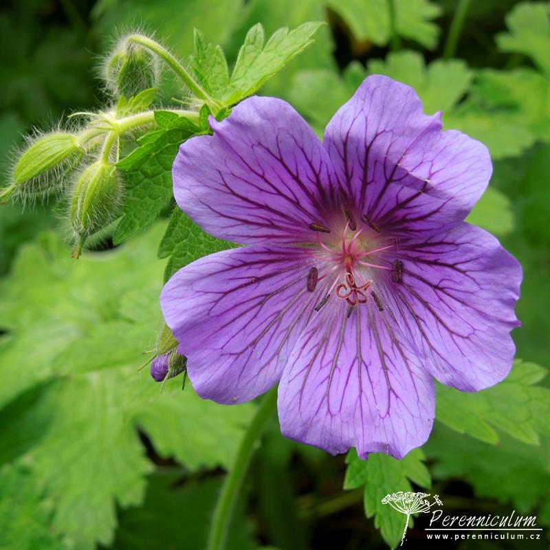 Geranium × magnificum