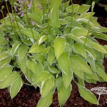 Hosta Iced Lemon