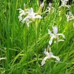 Iris sibirica Summer Skies