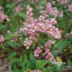 Persicaria campanulata Rosenrot