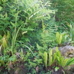 Polygonatum x hybridum