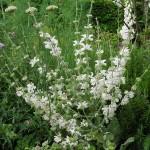 Salvia argentea