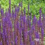 Salvia nemorosa Caradonna
