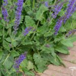 Salvia nemorosa Mainacht