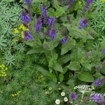 Salvia sylvestris Mainacht
