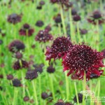 Scabiosa atropurpura Chile Black