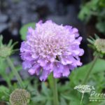 Scabiosa columbaria Butterfly Blue