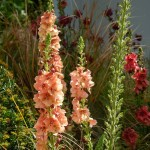Verbascum Carribean Crush