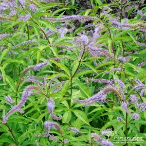 Veronicastrum virginicum Pointed Finger