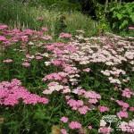 Achillea millefolium Cerice Queen