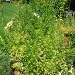 Artemisia vulgaris Oriental Limelight