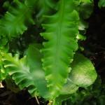 Asplenium scolopendrium Crispum Group