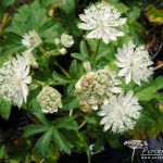 Astrantia Superstar