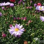 Symphyotrichum dumosus Lilac Time