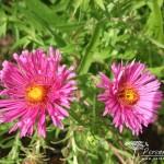 Symphyotrichum novae-angliae Harrington Pink