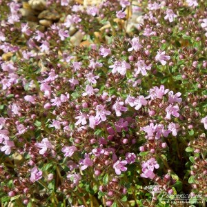 Thymus serpyllum September