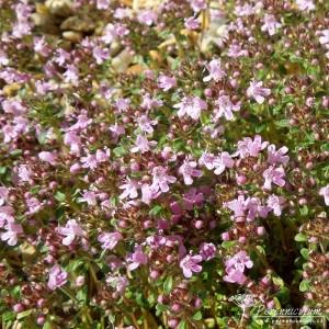 Thymus serpyllum September