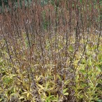 Veronicastrum virdinicum Lavendelturm