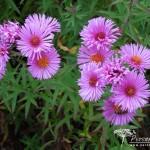 Symphyotrichum novae-angliae Brunswick