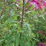 Symphyotrichum novae-angliae Collwall Orbit