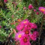 Symphyotrichum novae-angliae James Ritchie