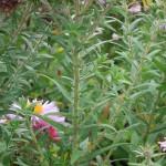 Symphyotrichum novae-angliae Pink Parfait