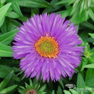 Symphyotrichum novae-angliae Purple Dome