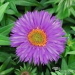 Symphyotrichum novae angliae Purple Dome
