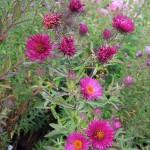 Symphyotrichum novae-angliae September Ruby