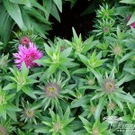 Symphyotrichum novae-angliae Vibrant Dome