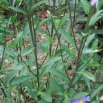 Symphyotrichum dumosus Silberblaukissen