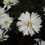 Symphyotrichum dumosus Snowsprite