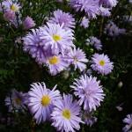 Symphyotrichum novi-belgii Anita Ballard