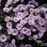 Symphyotrichum novi-belgii Anita Webb