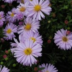 Symphyotrichum novi-belgii Audrey