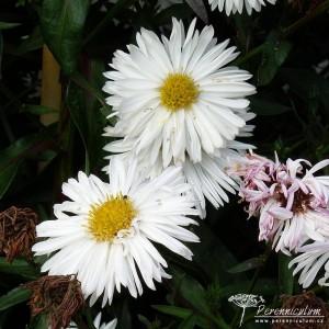 Symphyotrichum novi-belgii Boningale White