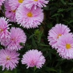 Symphyotrichum novi-belgii Coombe Margaret