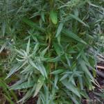 Symphyotrichum novi-belgii Elta