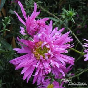 Symphyotrichum novi-belgii Ernest Ballard