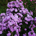 Symphyotrichum novi-belgii Fair Lady