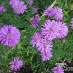 Symphyotrichum novi-belgii Fuldatal
