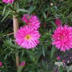 Symphyotrichum novi-belgii Janet Watts