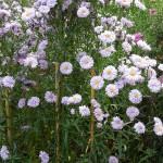 Symphyotrichum novi-belgii Madge Cato
